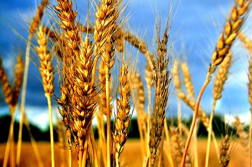 Wheatpic